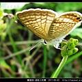 鱗翅目-波紋小灰蝶_10.jpg
