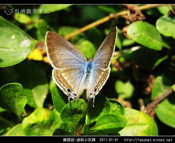 鱗翅目-波紋小灰蝶_13.jpg