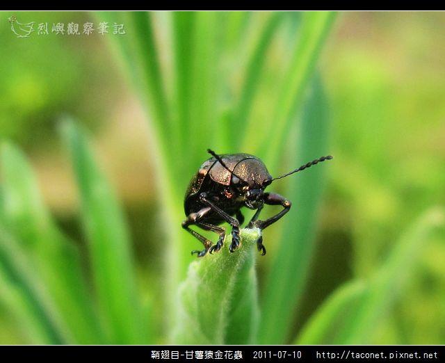 鞘翅目-甘薯猿金花蟲_02.jpg