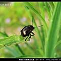 鞘翅目-甘薯猿金花蟲_01.jpg