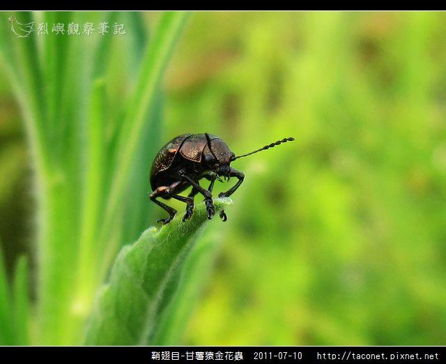 鞘翅目-甘薯猿金花蟲_03.jpg