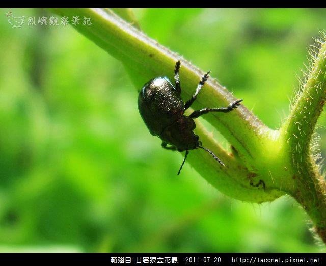 鞘翅目-甘薯猿金花蟲_04.jpg