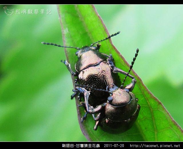 鞘翅目-甘薯猿金花蟲_06.jpg
