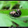 鞘翅目-甘薯猿金花蟲_05.jpg