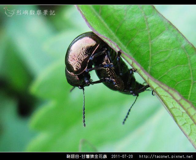 鞘翅目-甘薯猿金花蟲_08.jpg