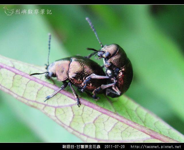 鞘翅目-甘薯猿金花蟲_07.jpg