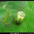 鞘翅目-甘藷龜金花蟲_02.jpg