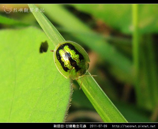 鞘翅目-甘藷龜金花蟲_01.jpg