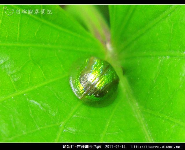 鞘翅目-甘藷龜金花蟲_04.jpg