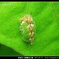 鞘翅目-甘藷龜金花蟲_07.jpg