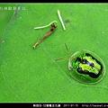 鞘翅目-甘藷龜金花蟲_06.jpg