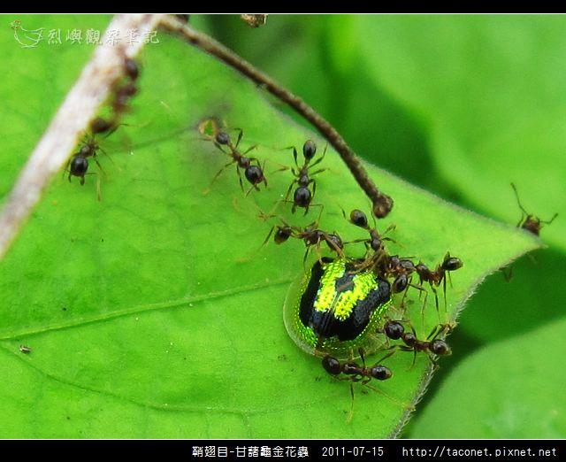 鞘翅目-甘藷龜金花蟲_09.jpg