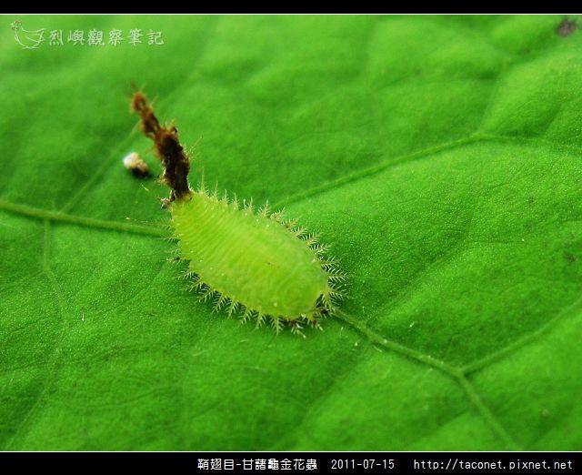 鞘翅目-甘藷龜金花蟲_08.jpg