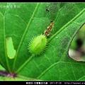 鞘翅目-甘藷龜金花蟲_10.jpg