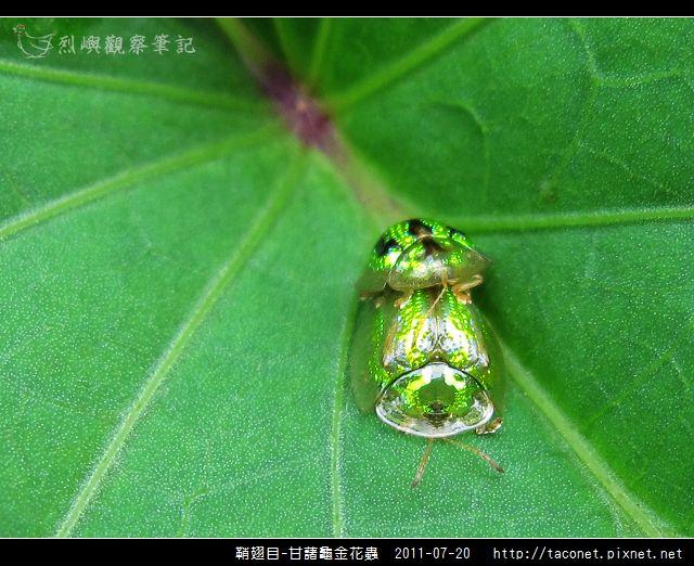 鞘翅目-甘藷龜金花蟲_11.jpg