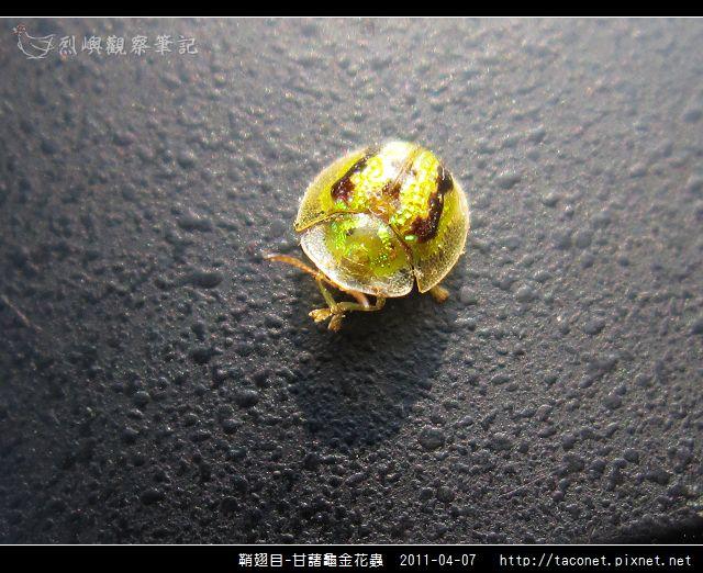 鞘翅目-甘藷龜金花蟲_12.jpg