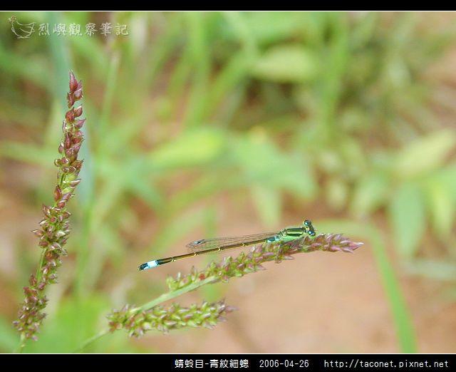 蜻蛉目-青紋細蟌_562.jpg