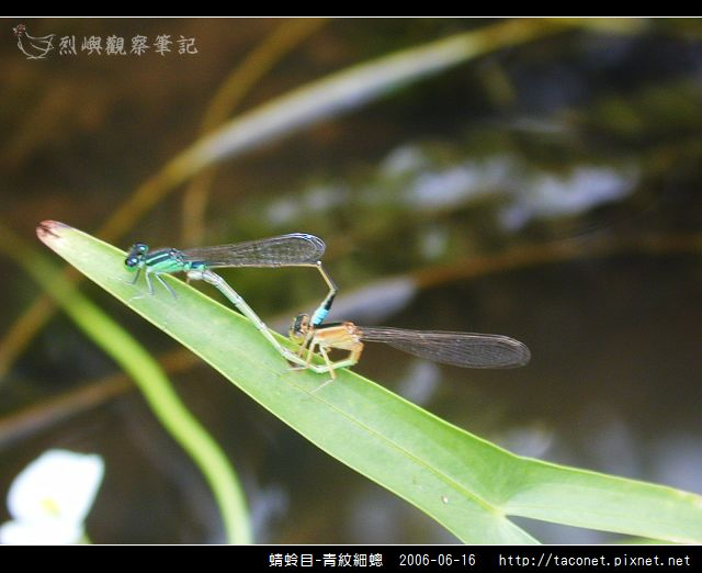 蜻蛉目-青紋細蟌_563.jpg