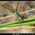 蜻蛉目-青紋細蟌_564.jpg