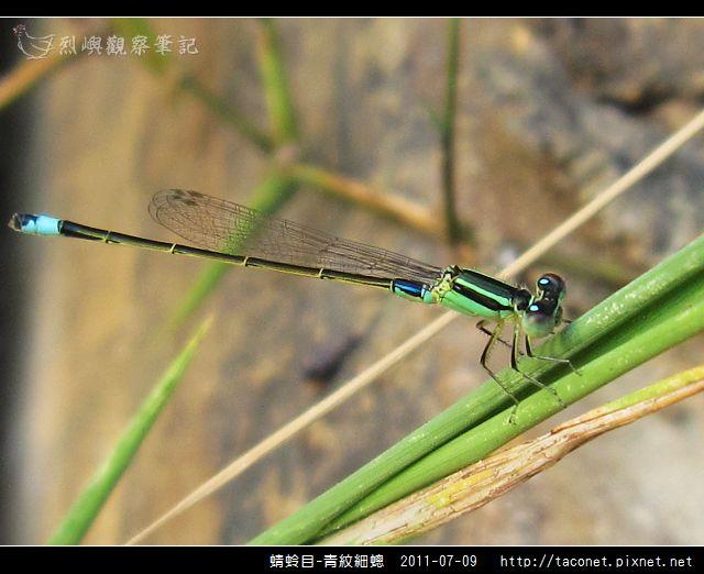 蜻蛉目-青紋細蟌_565.jpg