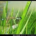 蜻蛉目-青紋細蟌_568.jpg