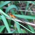 蜻蛉目-青紋細蟌_570.jpg
