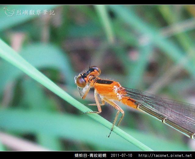 蜻蛉目-青紋細蟌_569.jpg
