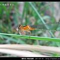 蜻蛉目-青紋細蟌_571.jpg