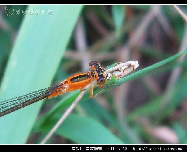 蜻蛉目-青紋細蟌_572.jpg