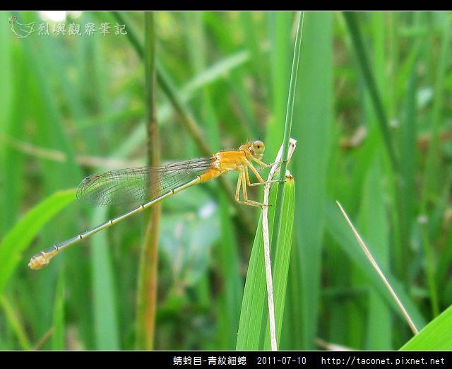 蜻蛉目-青紋細蟌_574.jpg