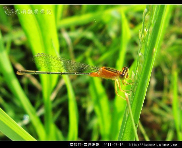 蜻蛉目-青紋細蟌_575.jpg