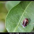 鞘翅目-茄二十八星瓢蟲_02.jpg