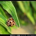 鞘翅目-茄二十八星瓢蟲_03.jpg