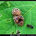 鞘翅目-茄二十八星瓢蟲_04.jpg