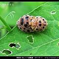 鞘翅目-茄二十八星瓢蟲_05.jpg