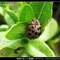 鞘翅目-茄二十八星瓢蟲_06.jpg