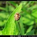 鞘翅目-茄二十八星瓢蟲_07.jpg