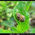 鞘翅目-茄二十八星瓢蟲_08.jpg