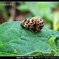 鞘翅目-茄二十八星瓢蟲_09.jpg