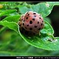 鞘翅目-茄二十八星瓢蟲_10.jpg