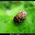 鞘翅目-茄二十八星瓢蟲_11.jpg