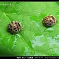 鞘翅目-茄二十八星瓢蟲_12.jpg