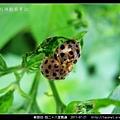 鞘翅目-茄二十八星瓢蟲_14.jpg