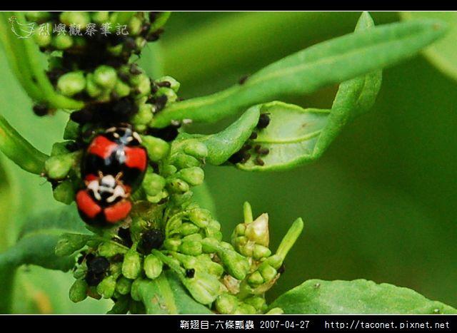 鞘翅目-六條瓢蟲_01.jpg