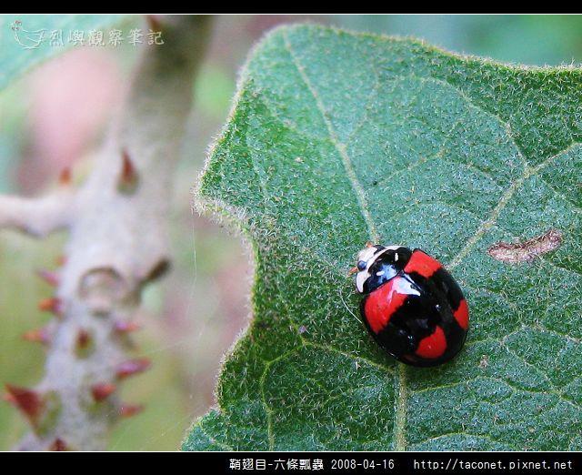 鞘翅目-六條瓢蟲_03.jpg