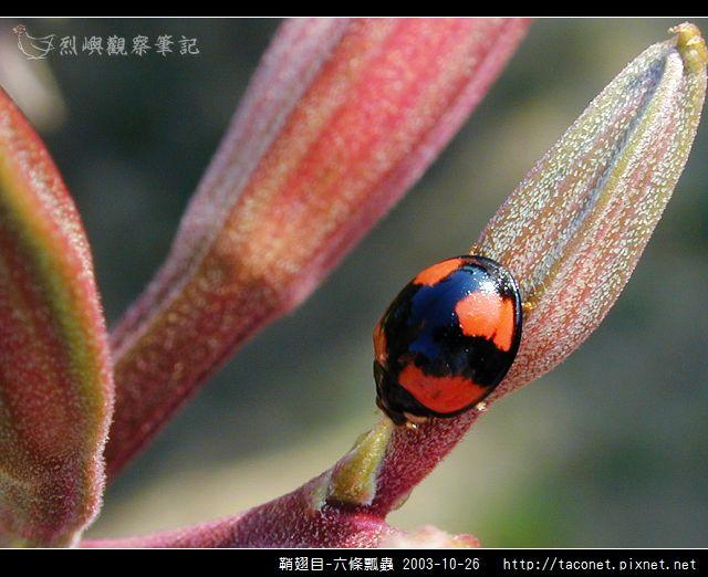 鞘翅目-六條瓢蟲_02.jpg