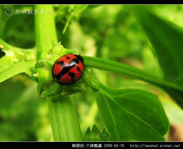 鞘翅目-六條瓢蟲_04.jpg