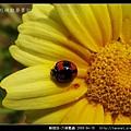 鞘翅目-六條瓢蟲_05.jpg