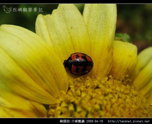 鞘翅目-六條瓢蟲_06.jpg