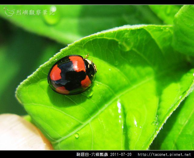 鞘翅目-六條瓢蟲_08.jpg
